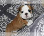 Bulldog Breeder in RICHMOND, KY, USA
