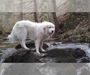 Great Pyrenees Dog Breeder near HILLSVILLE, VA, USA