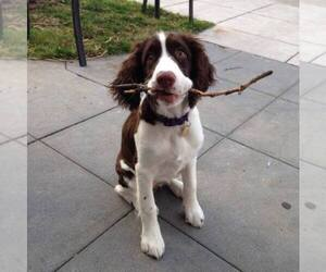 English Springer Spaniel Dog Breeder near MINDEN, NV, USA