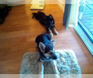 Main photo of German Shepherd Dog Dog Breeder near RENO, NV, USA
