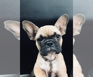 Main photo of French Bulldog Dog Breeder near GIRARD, IL, USA