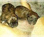 Bullmastiff Breeder in NOLANVILLE, TX, USA