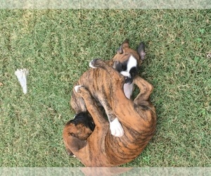 Boxer Breeder in COLUMBIA, KY