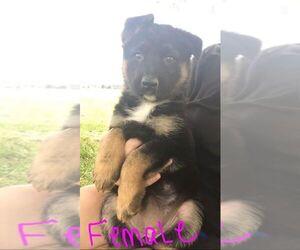Main photo of German Shepherd Dog Dog Breeder near WEST LAFAYETTE, OH, USA