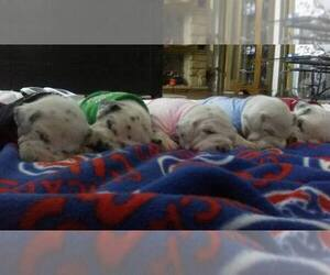 Main photo of Dalmatian Dog Breeder near CALUMET CITY, IL, USA