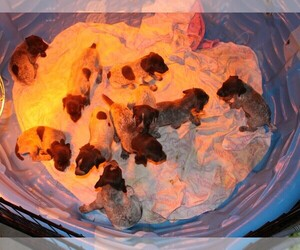 Main photo of German Shorthaired Pointer Dog Breeder near SUNBURY, PA, USA