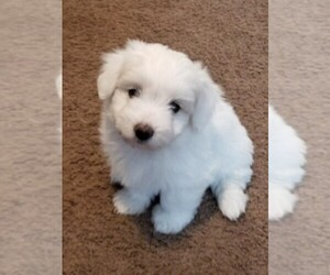 Coton de Tulear Dog Breeder near SALT LAKE CITY, UT, USA