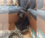 Boykin Spaniel Breeder in CROWNSVILLE, MD