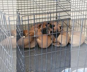 Main photo of Belgian Malinois Dog Breeder near MEM, TN, USA