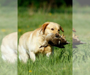Labrador Retriever Breeder in SANFORD, CO