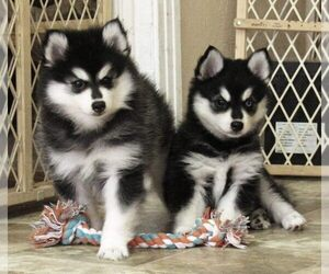 Pomsky Dog Breeder in SEBRING,  USA