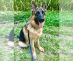 German Shepherd Dog Breeder in WAXHAW, NC