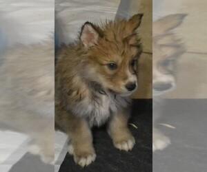 Wolf Hybrid Breeder in ODESSA, TX, USA