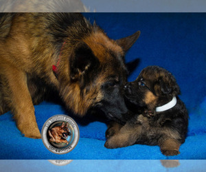 Main photo of German Shepherd Dog Dog Breeder near CAMPTONVILLE, CA, USA