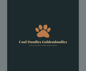 Main photo of Goldendoodle Dog Breeder near BOON, MI, USA