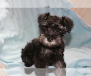 Schnauzer (Miniature) Dog Breeder near TENAHA, TX, USA