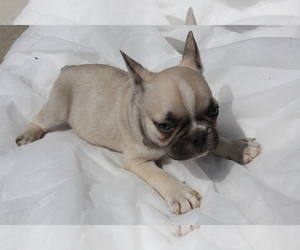 Main photo of French Bulldog Dog Breeder near VISTA, CA, USA