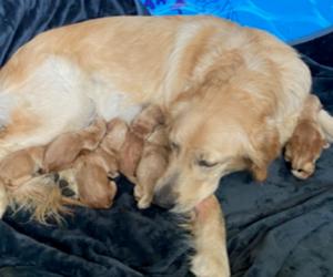 Golden Retriever Dog Breeder in STKN,  USA