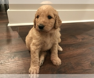 Main photo of Goldendoodle Dog Breeder near HERNANDO, MS, USA