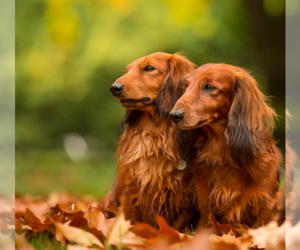 Main photo of Dachshund Dog Breeder near MIAMI, FL, USA