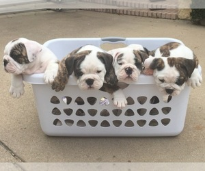 Main photo of Bulldog Dog Breeder near ARLINGTON, TX, USA
