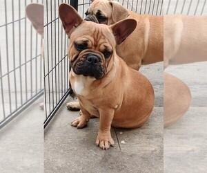 French Bulldog Dog Breeder in LOS ANGELES,  USA
