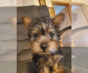 Silky Terrier Dog Breeder near WASHBURN, MO, USA