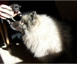 Keeshond Breeder in Manteno, IL