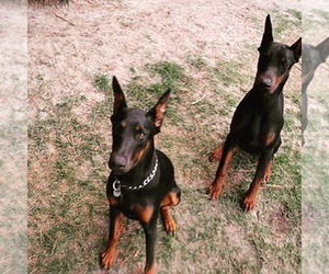 Doberman Pinscher Breeder in SEVEN SPRINGS, NC