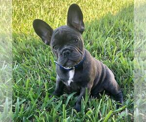 French Bulldog Dog Breeder in CAPE CORAL,  USA