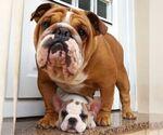 Bulldog Breeder in ARLINGTON, VA, USA