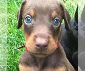 Main photo of Doberman Pinscher Dog Breeder near GLEN ALLEN, VA, USA
