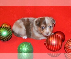 Main photo of Miniature Australian Shepherd Dog Breeder near AZLE, TX, USA