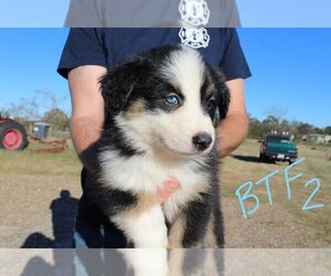 Main photo of Australian Shepherd Dog Breeder near GILMER, TX, USA