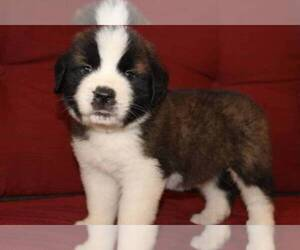 Saint Bernard Dog Breeder near BAKER, FL, USA