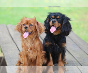 Cavalier King Charles Spaniel Dog Breeder near DEMOREST, GA, USA
