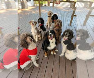 Aussiedoodle-Poodle (Standard) Mix Dog Breeder in LEVEL CROSS,  USA