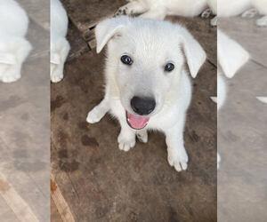 German Shepherd Dog Dog Breeder in CENTRAL POINT,  USA