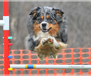 Australian Shepherd Breeder in PINE PLAINS, NY, USA