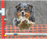 Australian Shepherd Breeder in PINE PLAINS, NY
