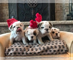 Main photo of Bulldog Dog Breeder near BUFFALO, MN, USA