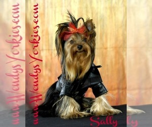 Yorkshire Terrier Dog Breeder in POWDERLY,  USA