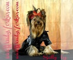 Yorkshire Terrier Breeder in POWDERLY, TX, USA