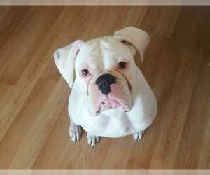 Boxer Breeder in PLEASANT HILL, IL