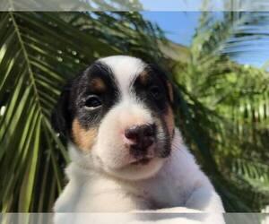 Jack Russell Terrier Dog Breeder near FULLERTON, CA, USA