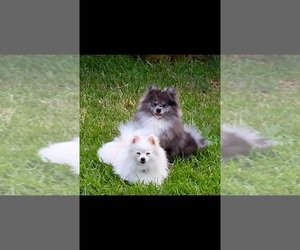Main photo of Pomeranian Dog Breeder near PASADENA, TX, USA