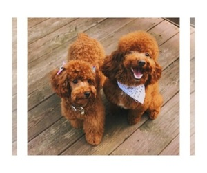 Main photo of Poodle (Miniature) Dog Breeder near SMYRNA, GA, USA