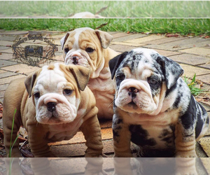 English Bulldog Dog Breeder in BHAVEN,  USA