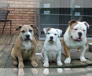 American Bulldog Breeder in WALWORTH, WI