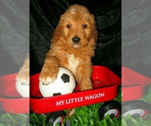 Goldendoodle Dog Breeder in BLUE HILL,  USA